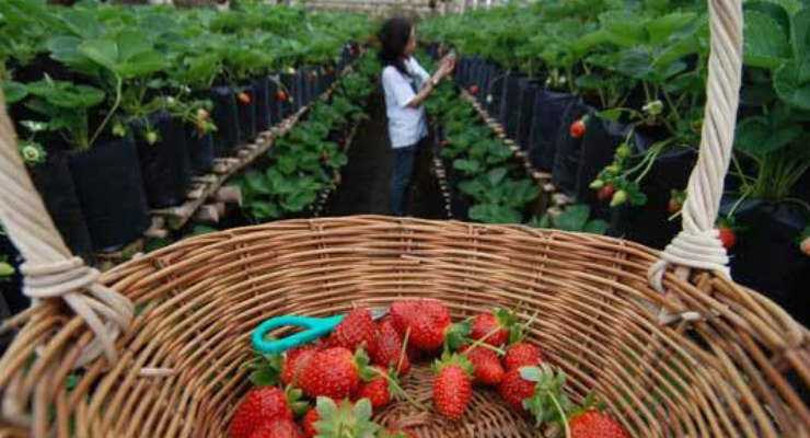 Tempat Wisata di Bandung - Kebun Petik Strawberry