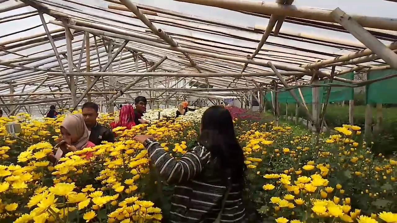 Tempat wisata di Semarang - Setiya Aji Flower Farm