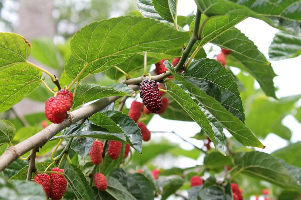 60 Jenis Tanaman Herbal Obat Alami Keluarga Toga Mamikos Info